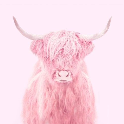 Higland+Cow.jpg