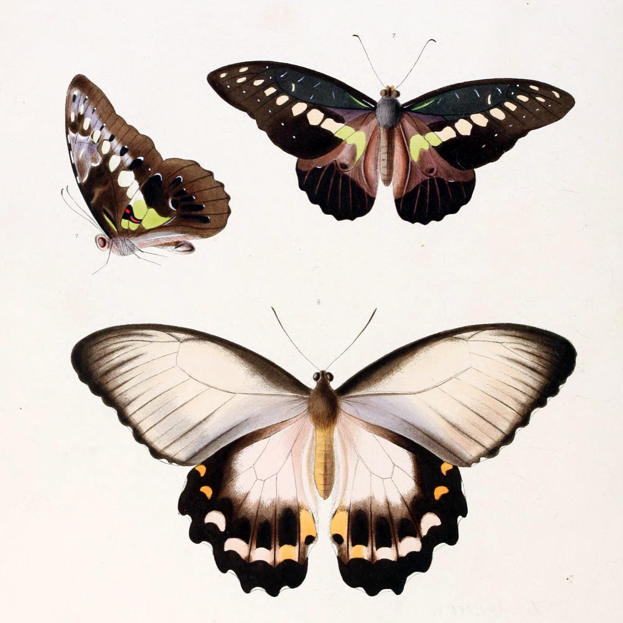 Illustrations_of_new_species_of_exotic_butterflies_Papilio_III.jpg