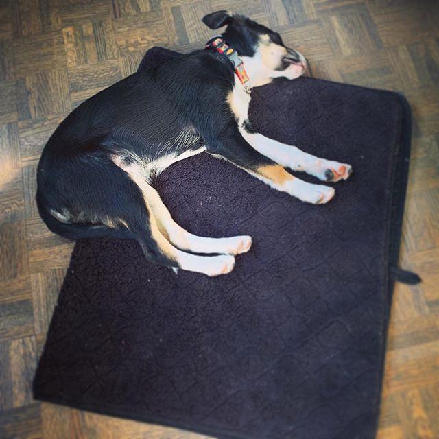 #saturday #richard #mediumsizeblackdog