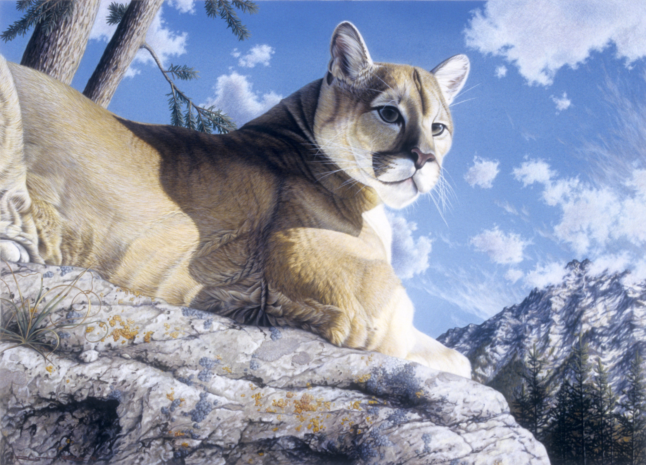 Western Mountain Lion