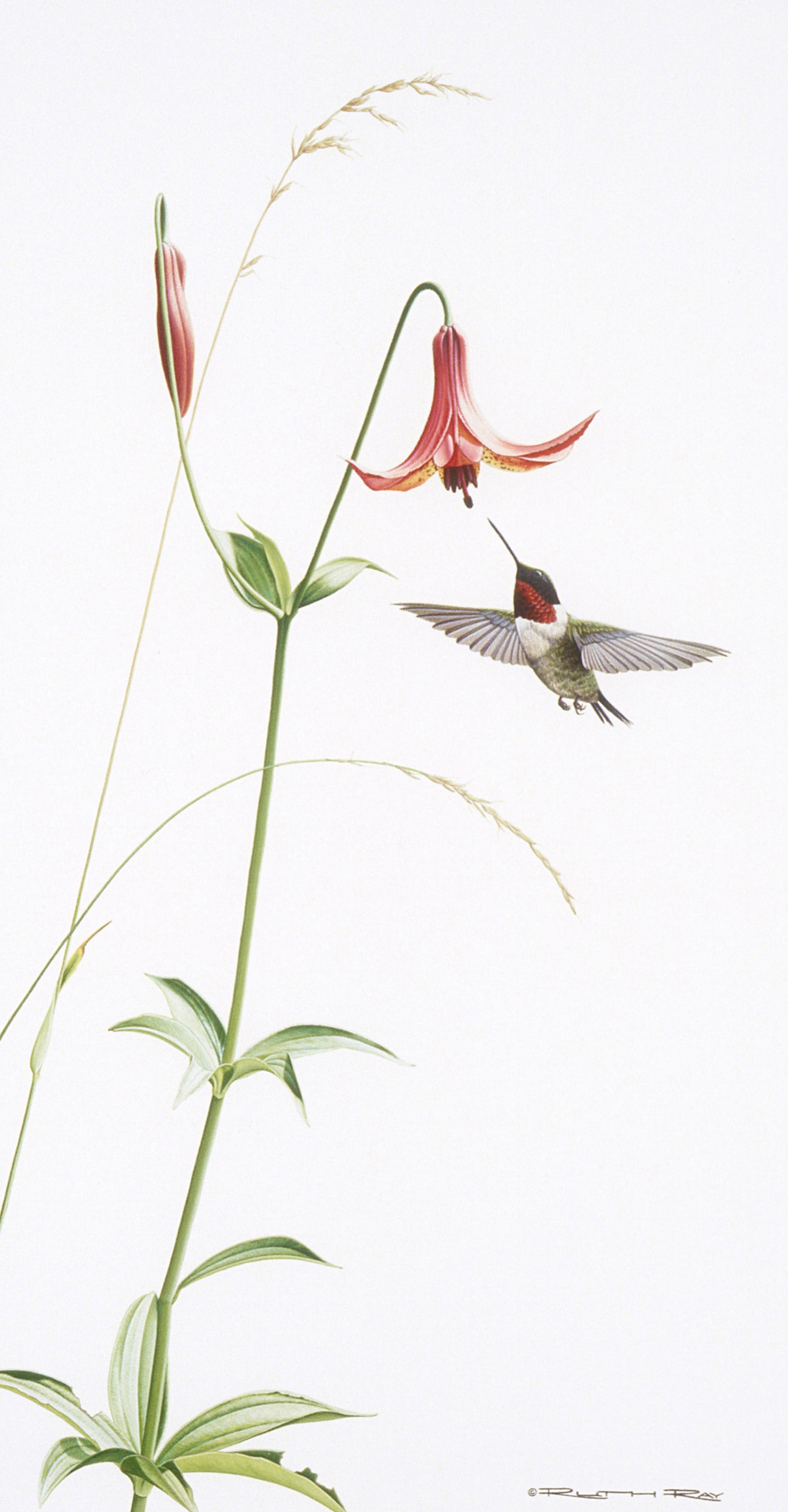 Ruby-ThroatedHummingbird/Canada Lily - 10