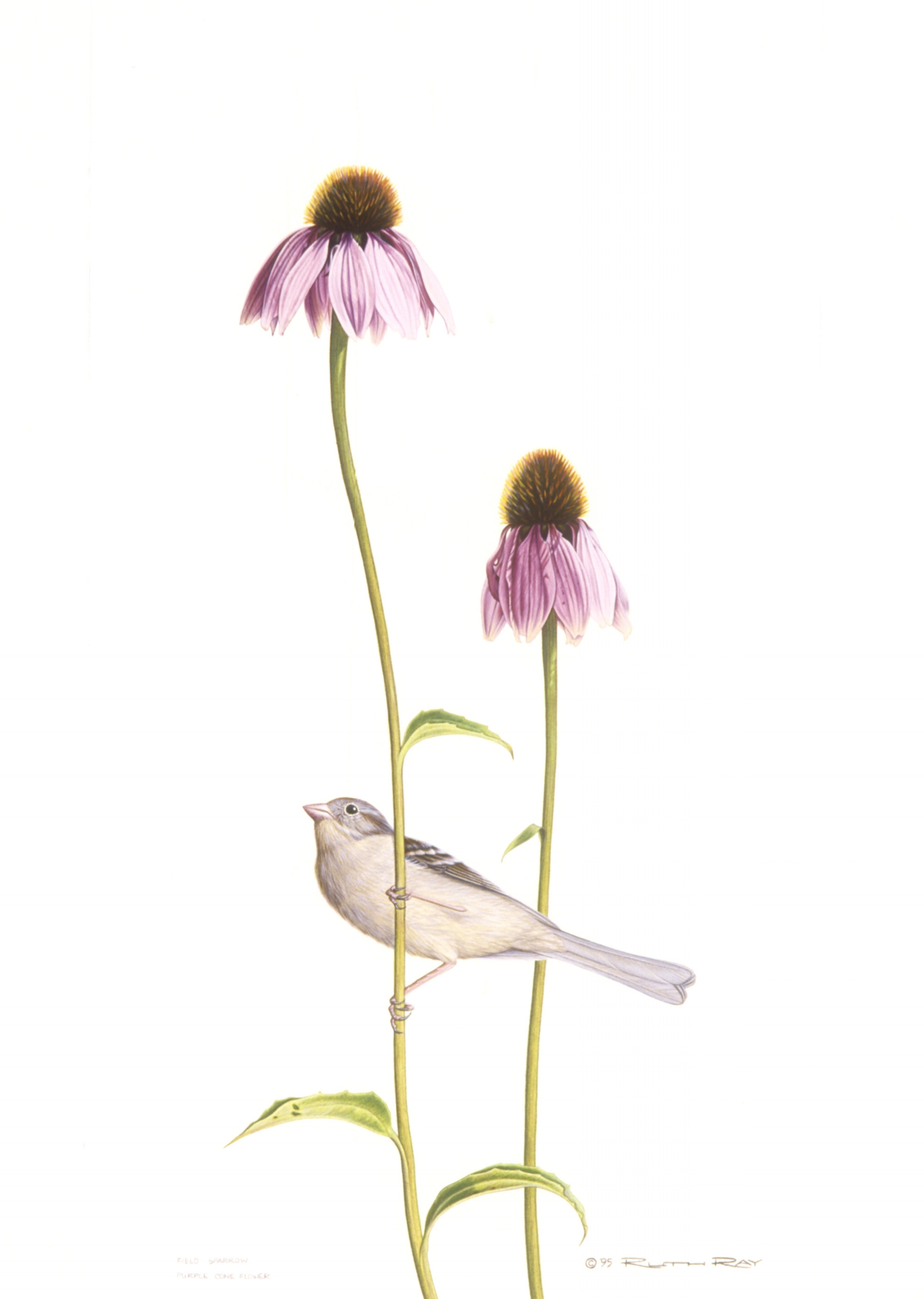 Field Sparrow/Purple Cornflower - 8