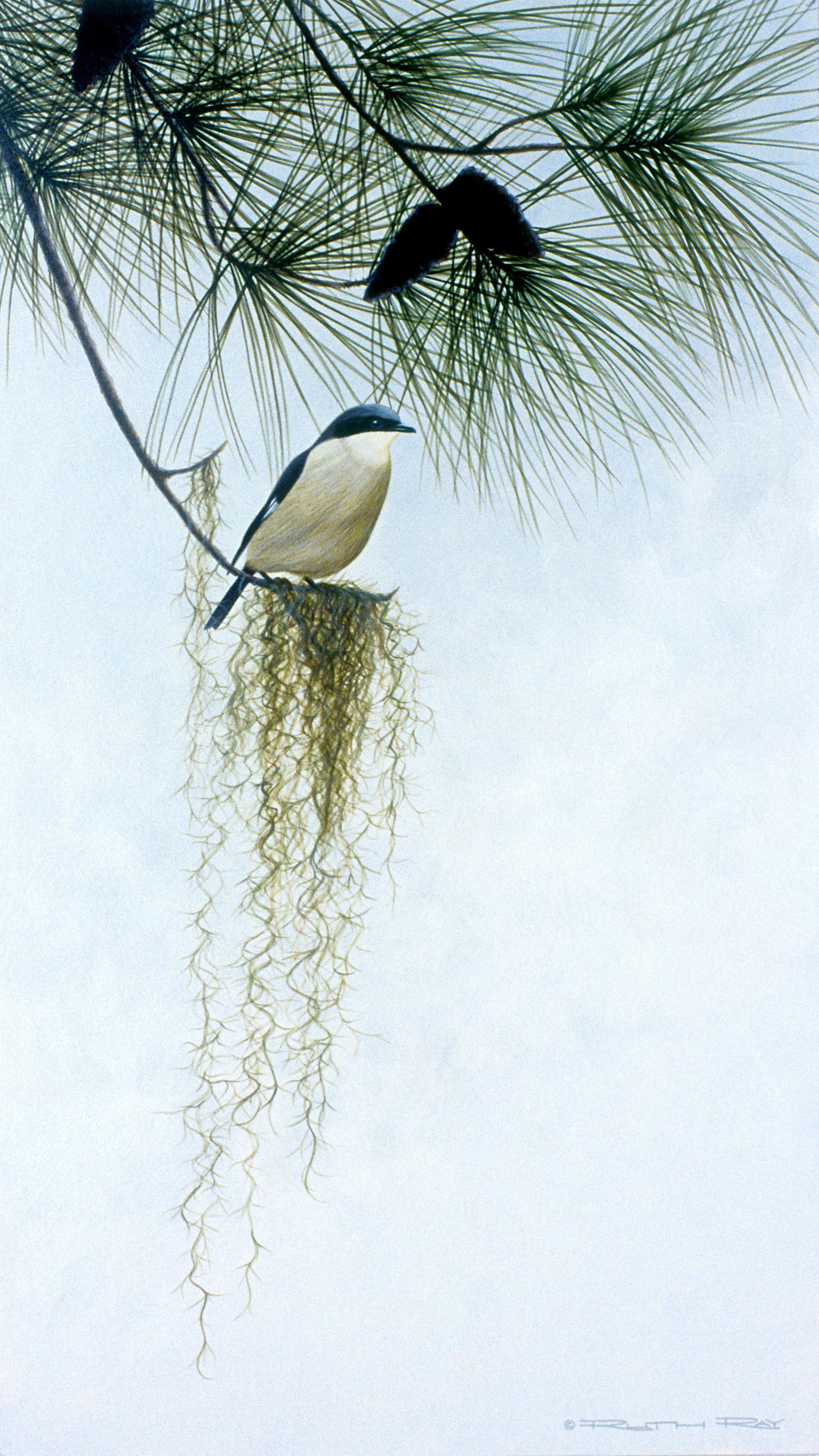 Loggerhead Shrike - 12