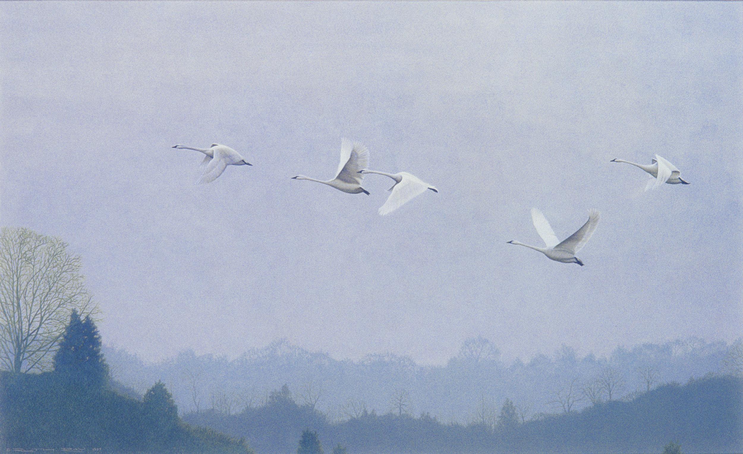 Whistling Swans.jpg