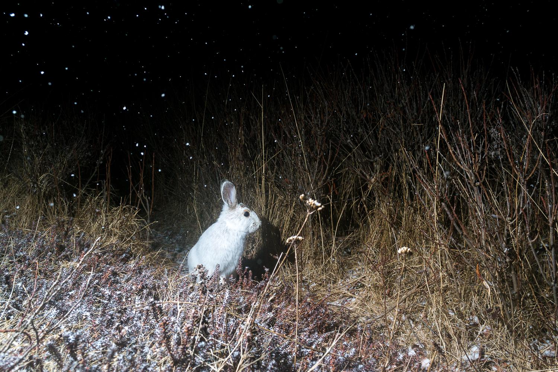Hare Under Snow Stars