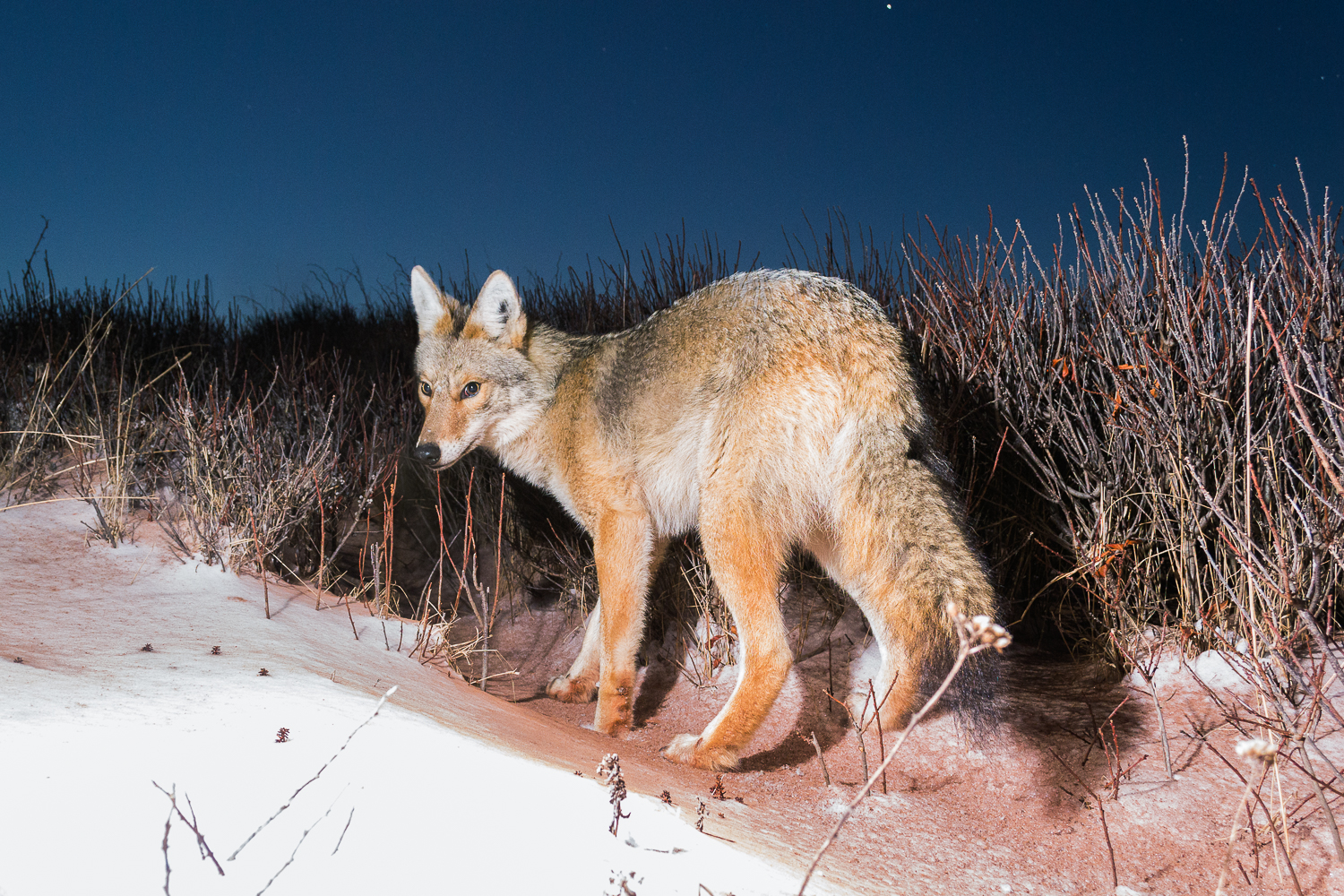National Park Coyote