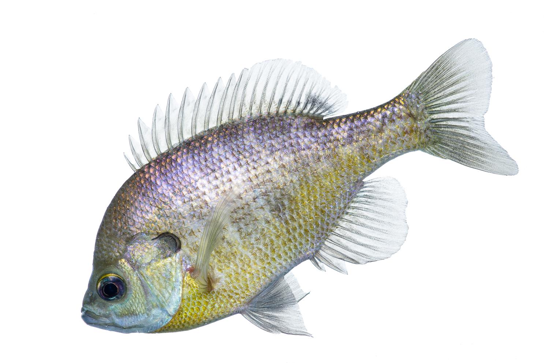 Bluegill Profile