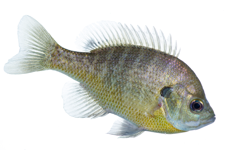 Bluegill Profile II