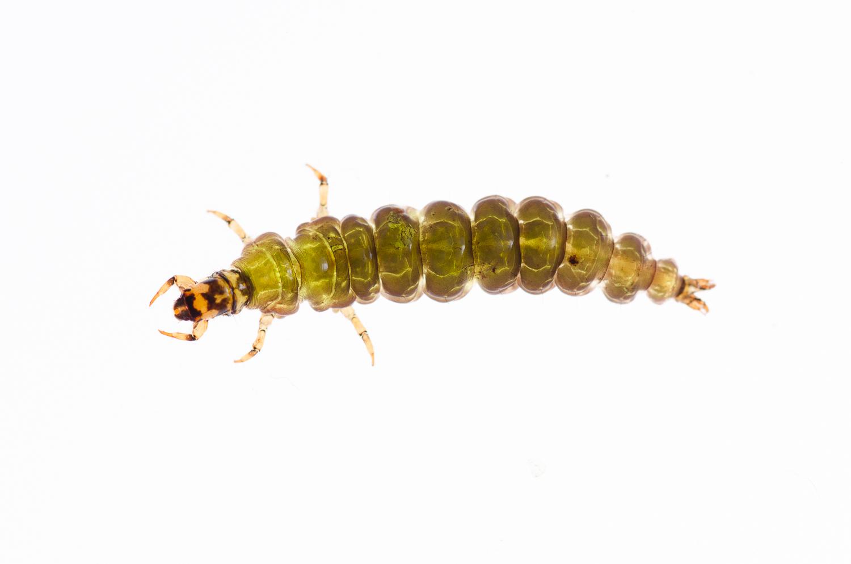 Rhyacophilid