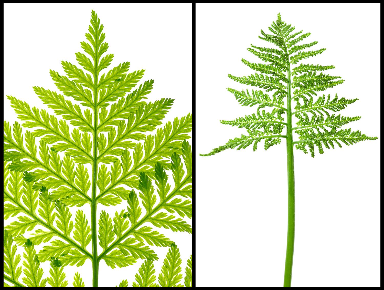 Rattlesnake fern, grape fern Bostrychium spp.jpg