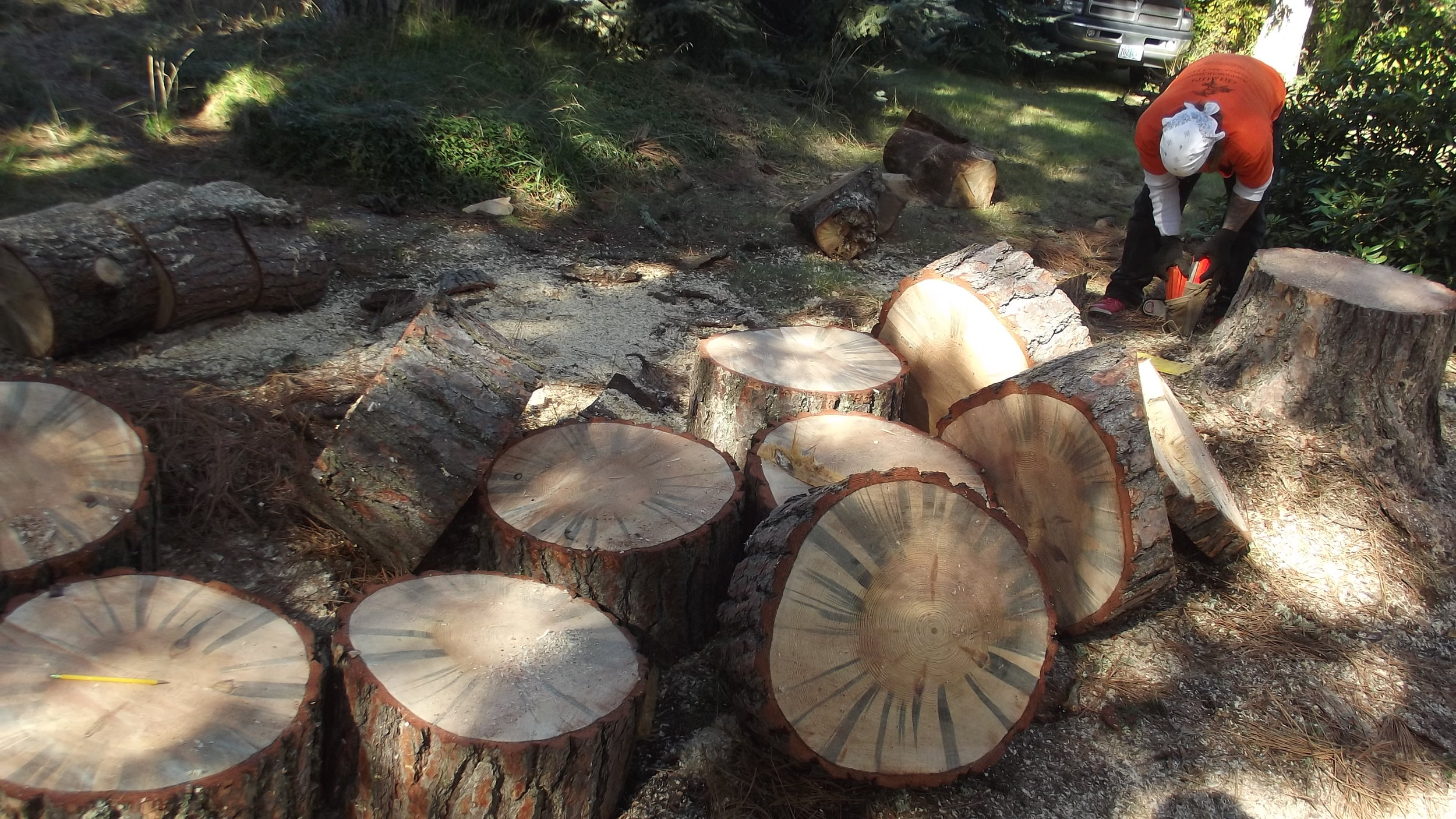 Infested Pine Logs