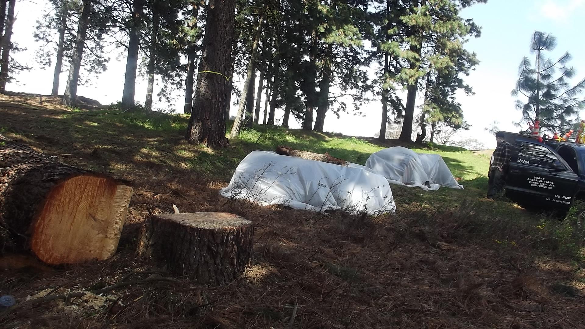 Pine Logs Covered to Kill Bark Beetles