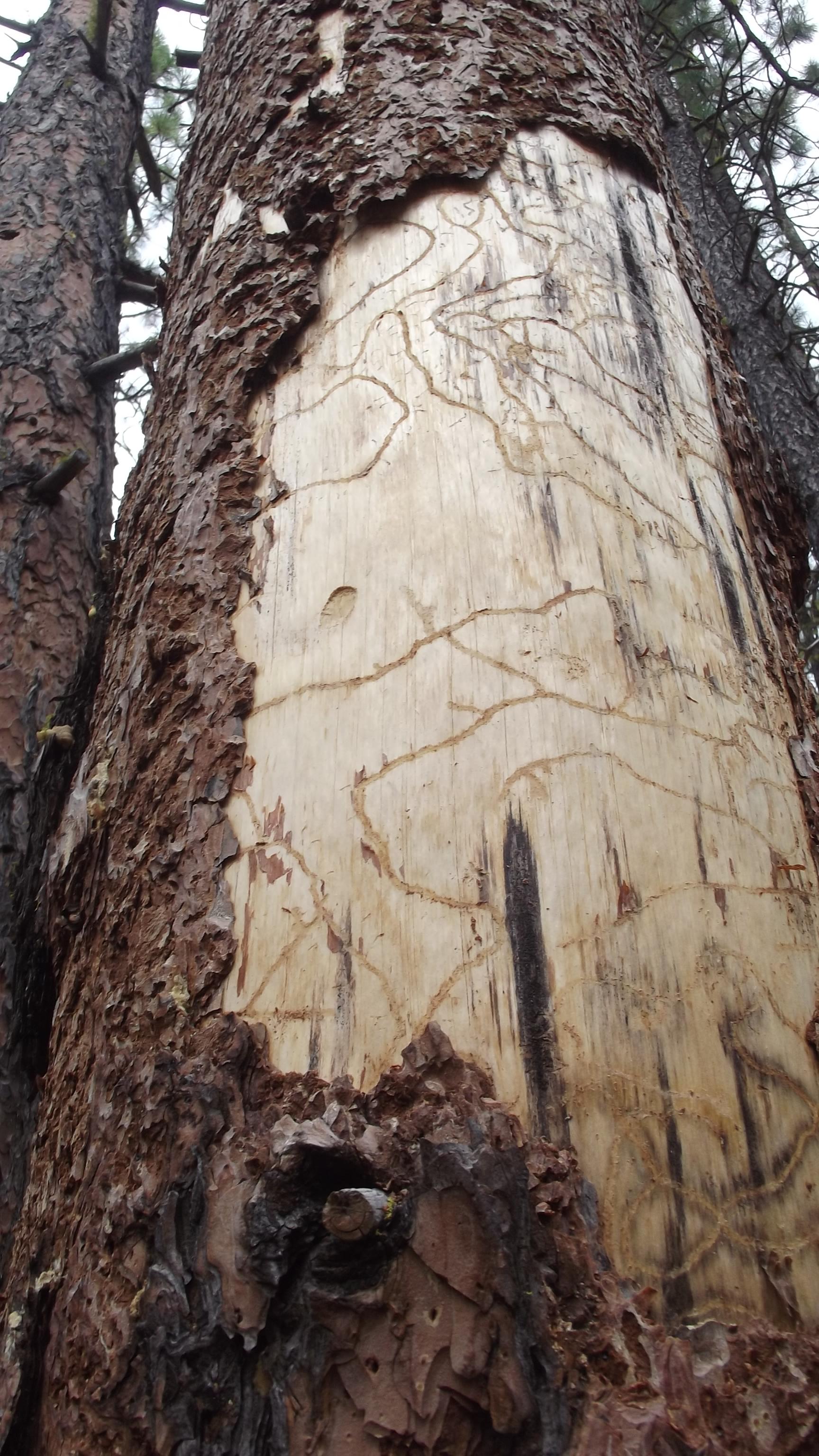 Gorge-Tree-Service-timber-cruise-oregon-washington-liscenced-website.jpg