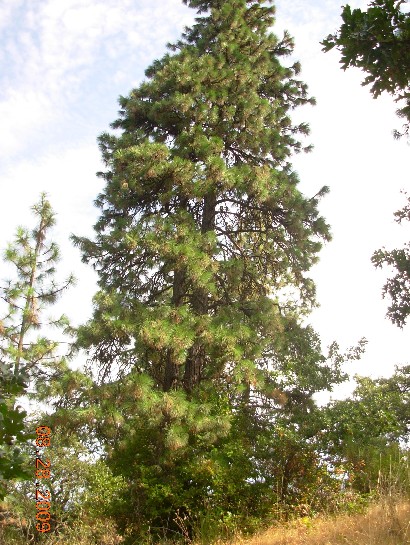 Ponderosa Pine Before View Pruning