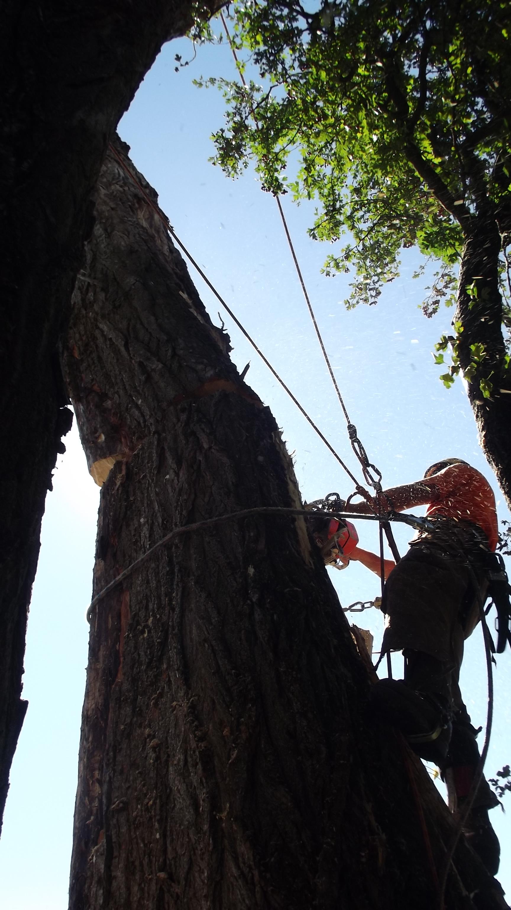 Felling Large Dead Poplar