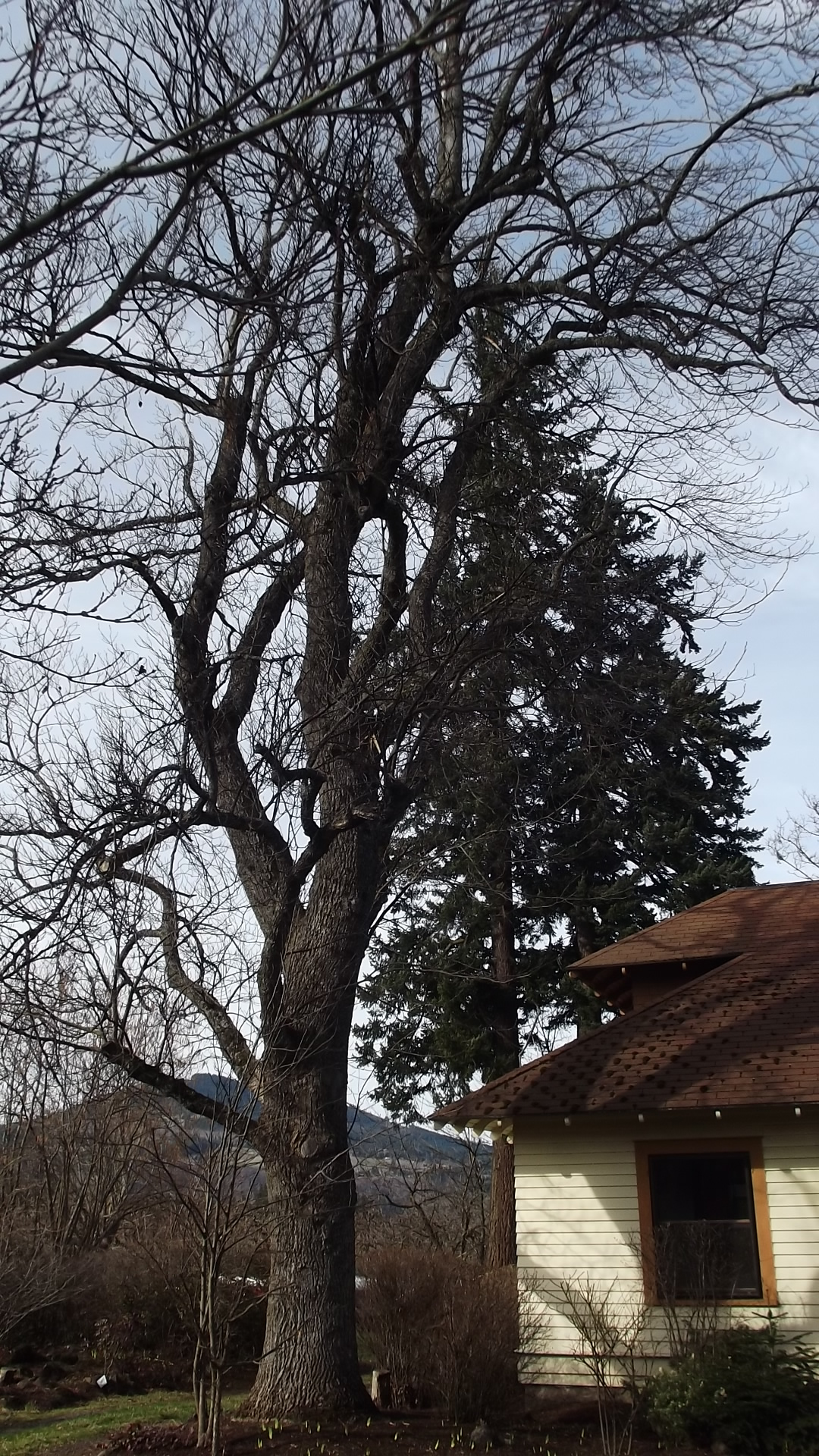 Tulip Poplar Before Pruning for Aesthetics and Safety