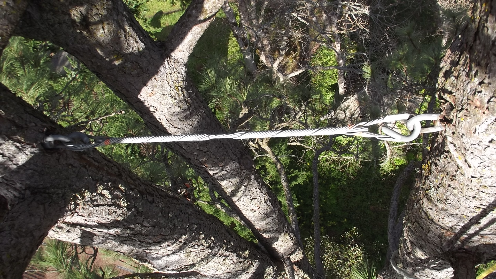 gorge-tree-services-cable-bracing-safety-bolts-harness-installation-multitrunk-support-cabling.jpg