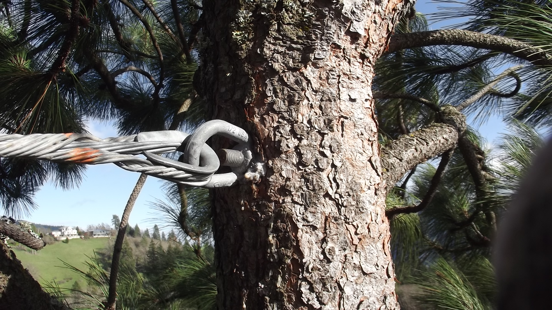 gorge-tree-services-cable-bracing-safety-bolts-harness-installation-support-multitrunk.jpg