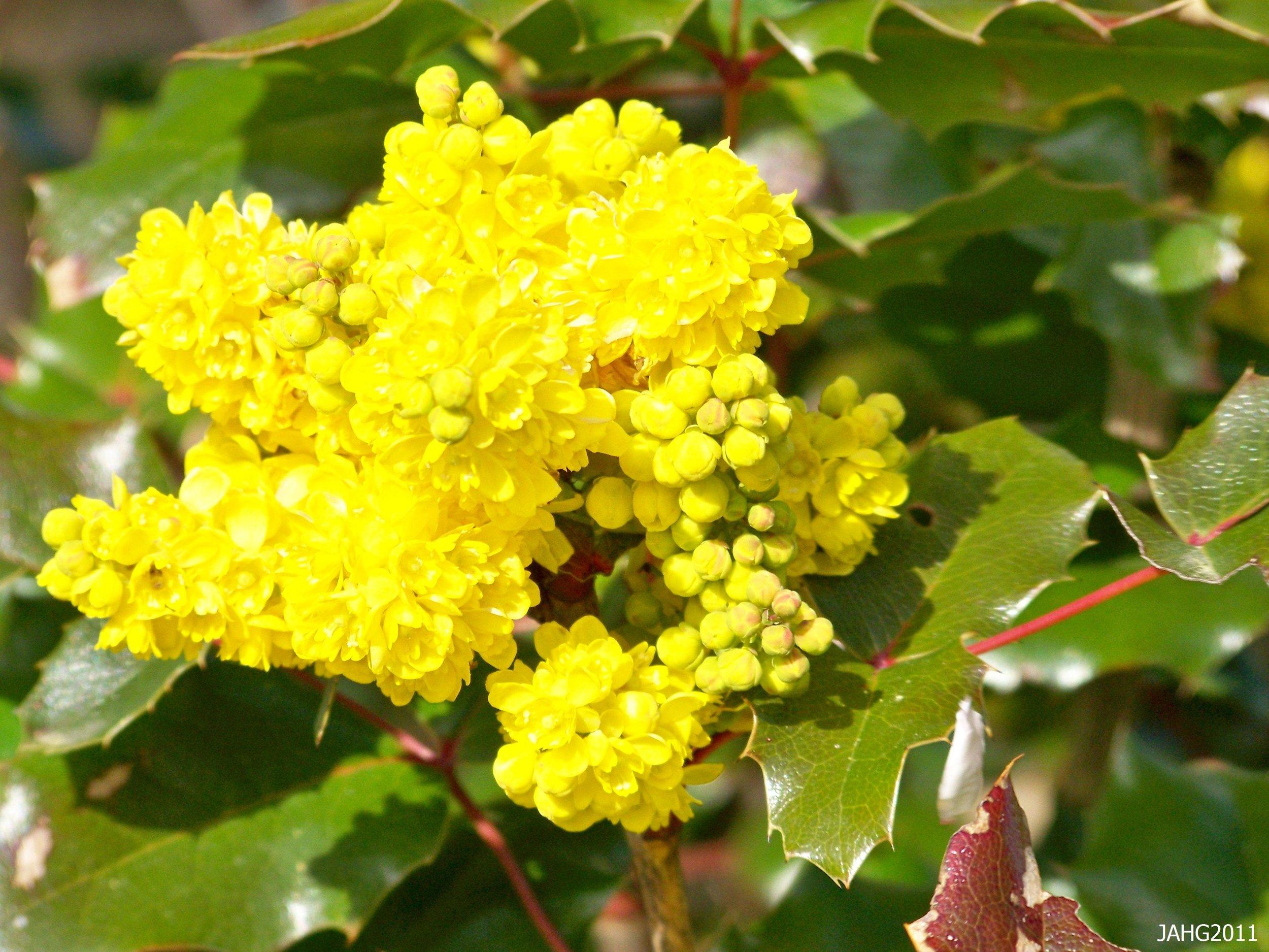 Cascade Oregon Grape