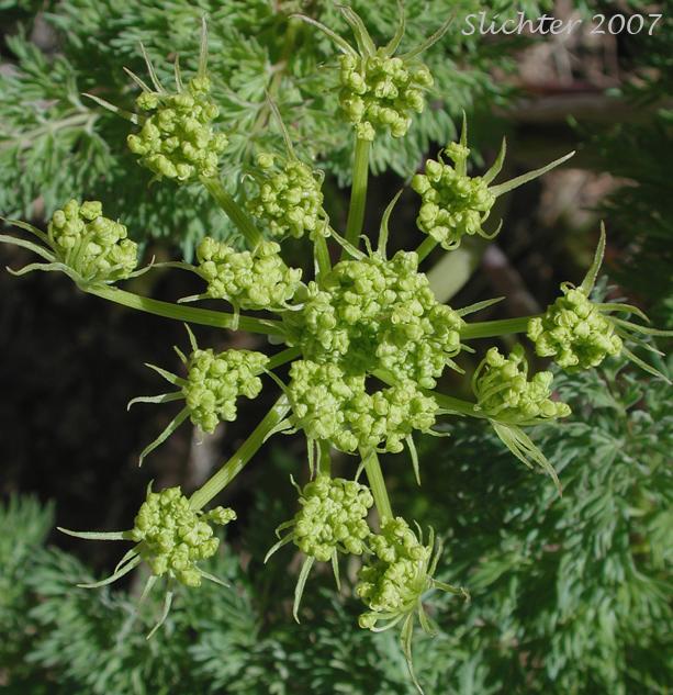 Fern-leaf Desert Parsley