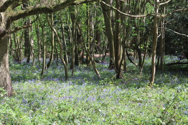 Bluebells_INT3729_TweetingOn_22-04-18.jpg