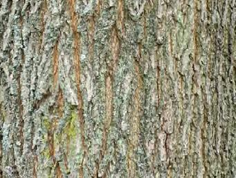 Sycamore bark. The trees can live to 500 years