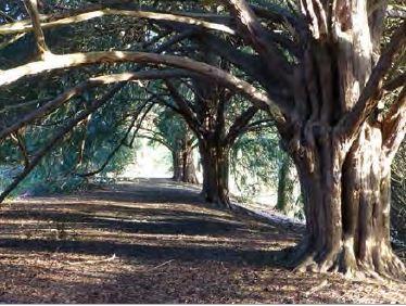 yew_trees_acorn_06.JPG