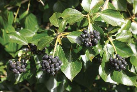 ivy_berries_acorn_08.JPG