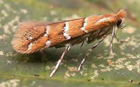Leaf miner moth