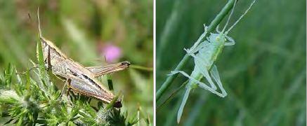 Grasshopper and Cricket