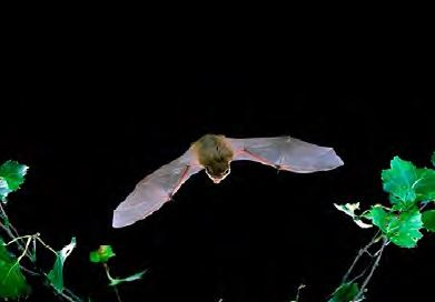 Common Pipistrelle Bat  (courtesy of the Bat Conservation Trust)