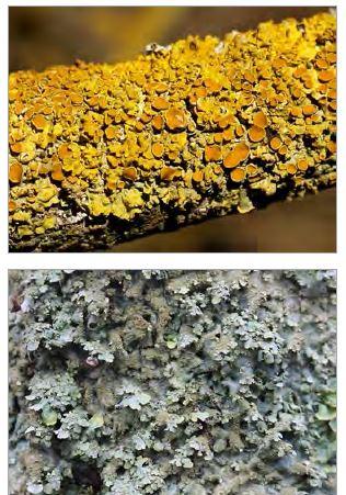 Two Lichens - Xanthoria Parientina and Parmelia