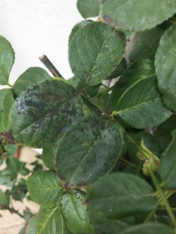 Mildew Caused by Insect Excrement