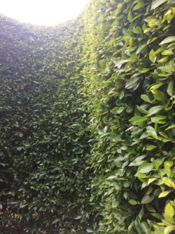 Pest Protection for Privacy Hedge