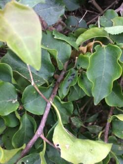 Bougainvillea Caterpillar Droppings