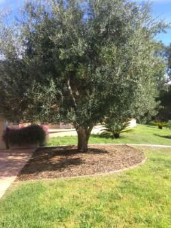 Correctly planted Oak