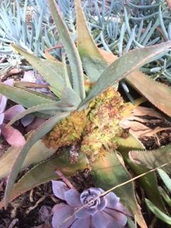 Aloe Mite Damage