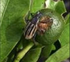 Diaprepis Root Weevil