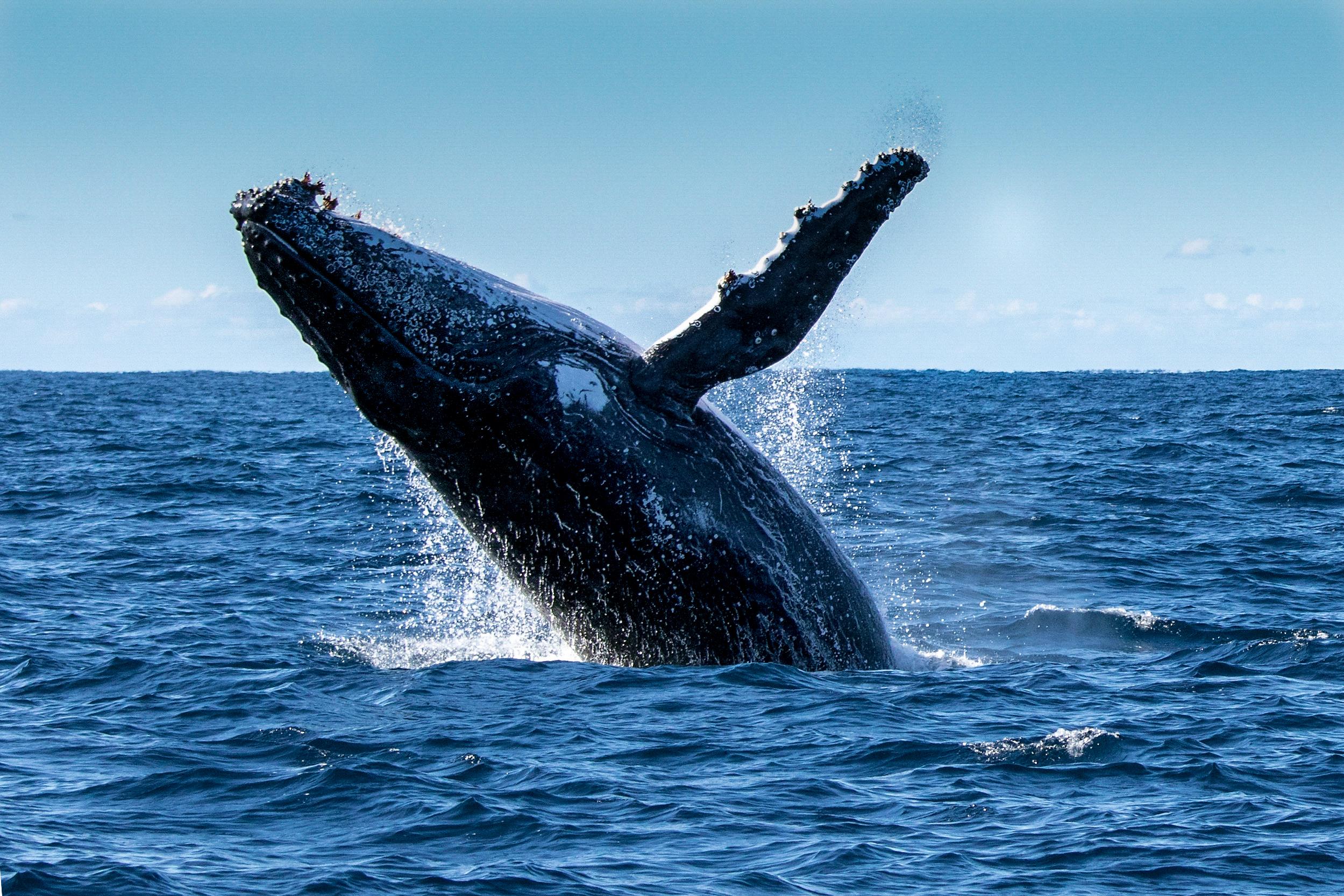 Humpback Whale.jpeg