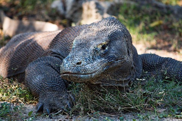 Big lazy friend  #komododragon #komodo #photography #indonesia #wildlifephotography #wildlife #wild