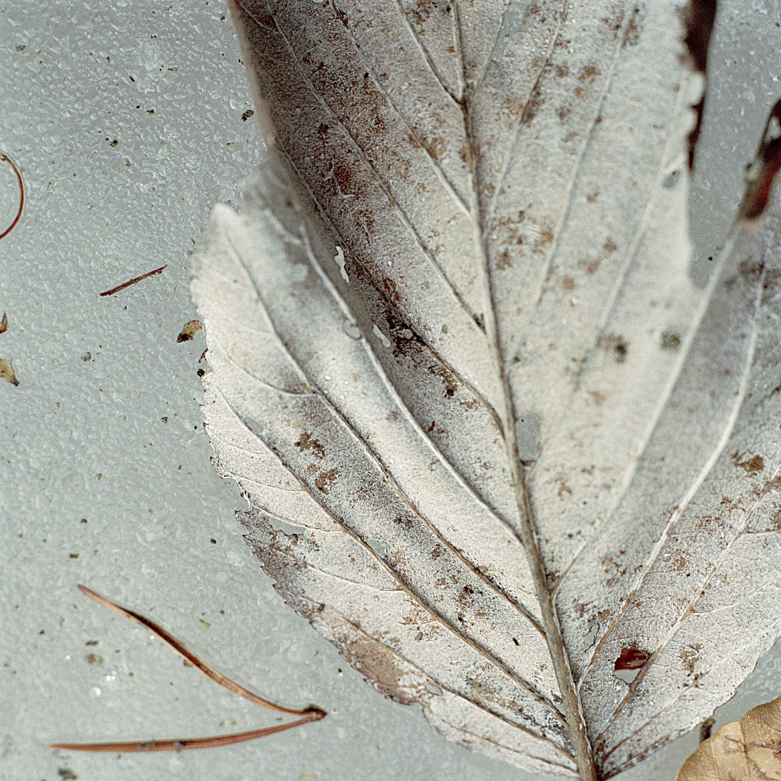 laura_hynd_leaf_ice.jpg
