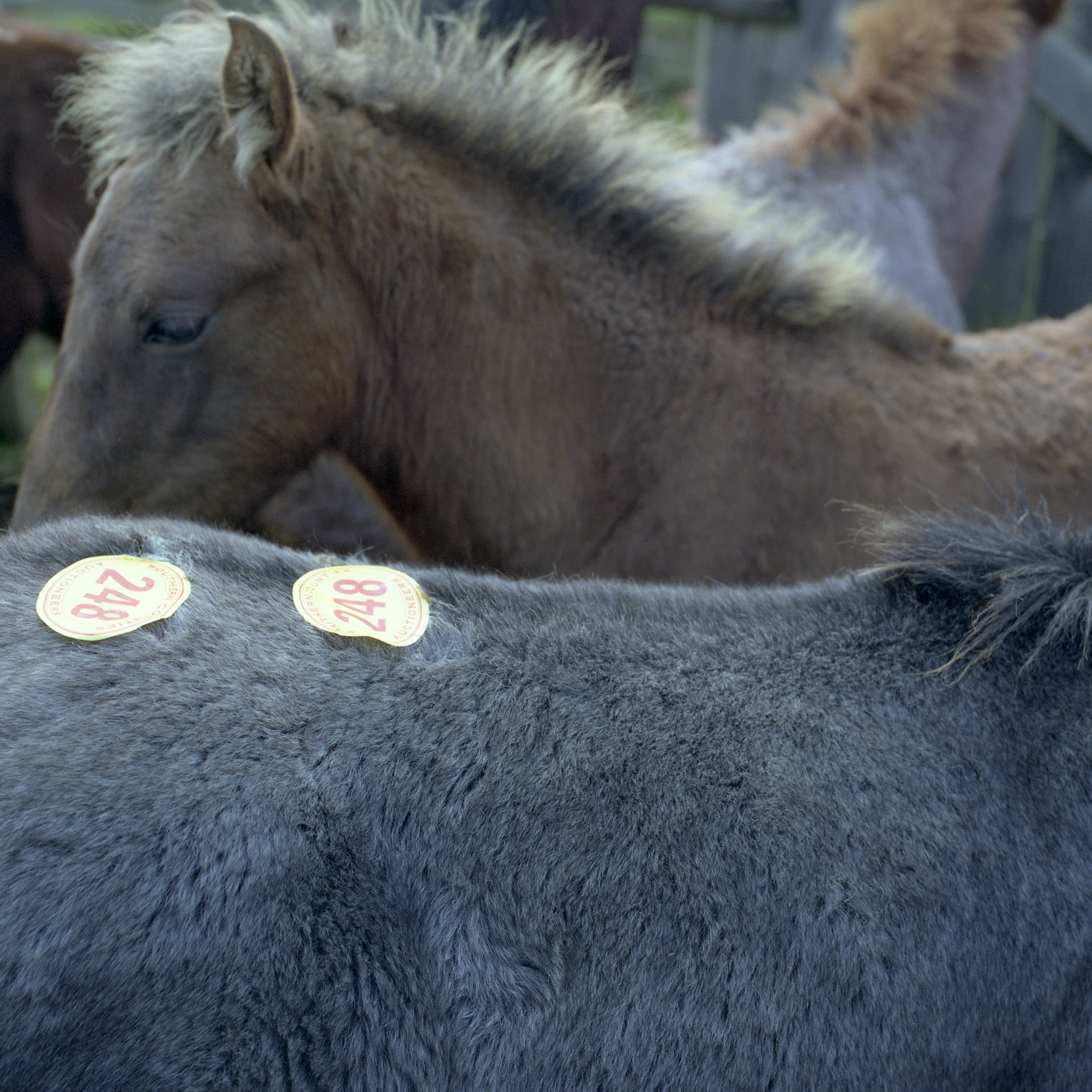 NEW FOREST PONY AUCTION
