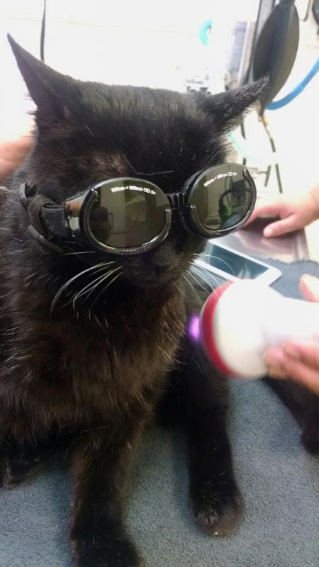 One of the patients at Scaredy Cats receiving laser therapy.