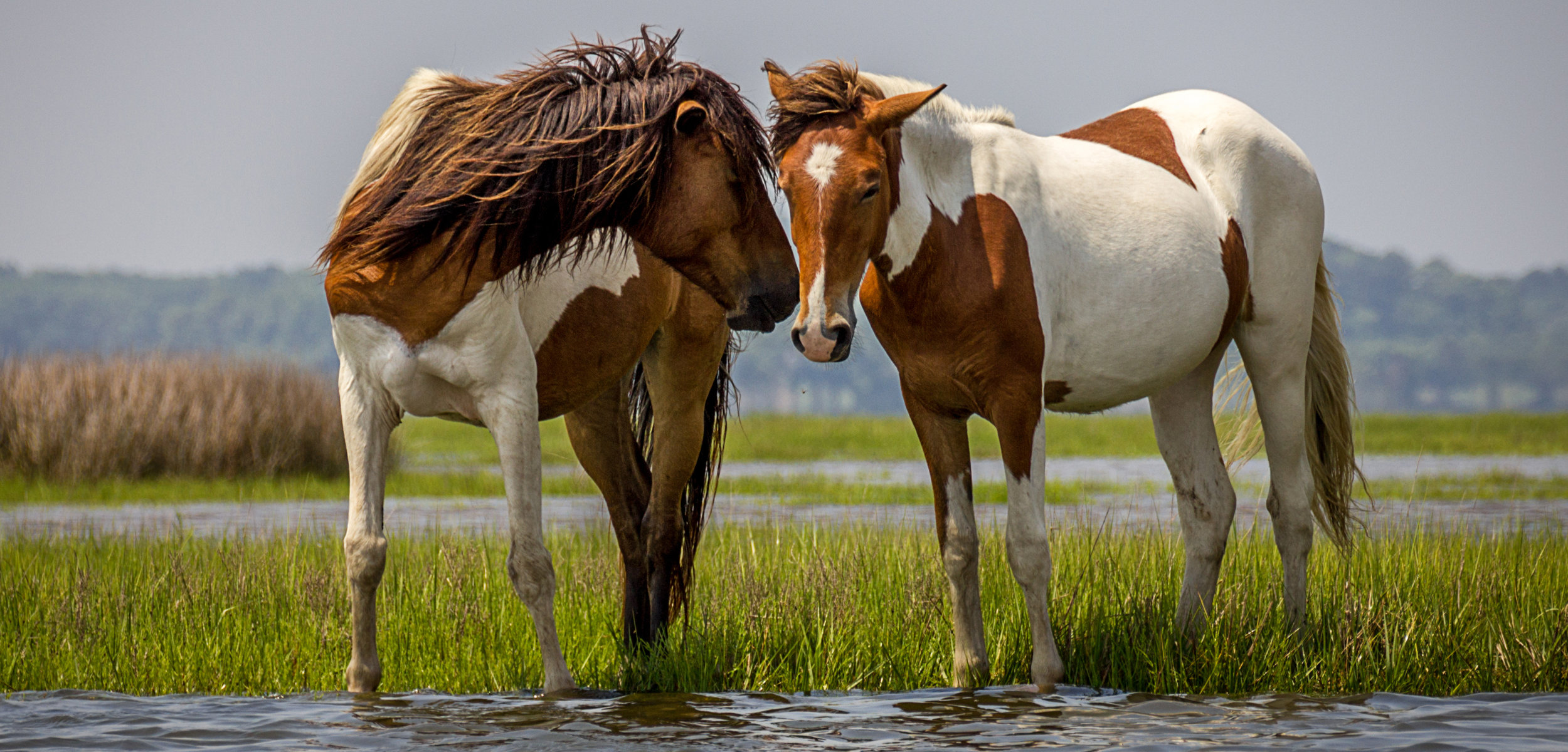 Assateague-horses.jpg