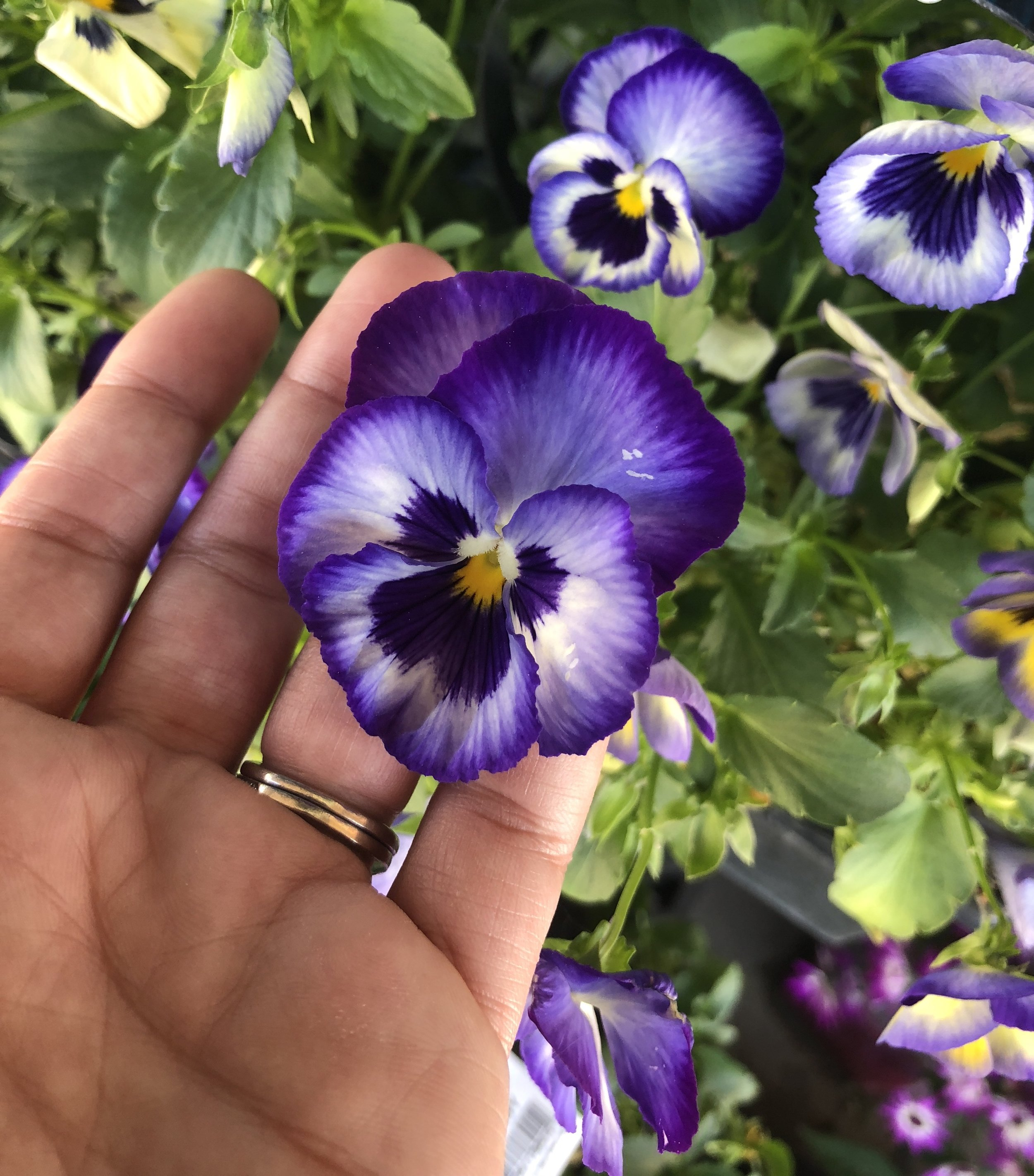 Avery purple pansy.jpg