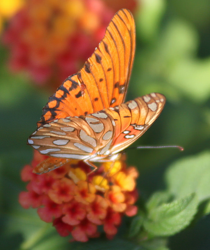orange butterfly cc.png