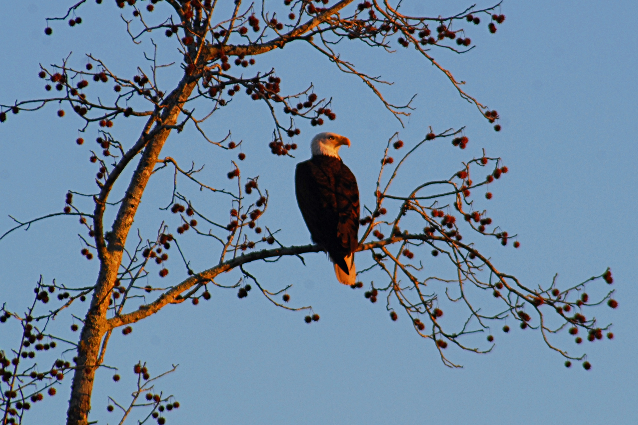 A bald eagle basks in the evening sun. Photo: Bob Butters