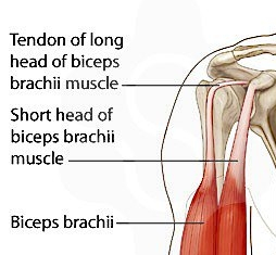 Biceps anatomy - two separate tendons at the shoulder. Short and long heads.