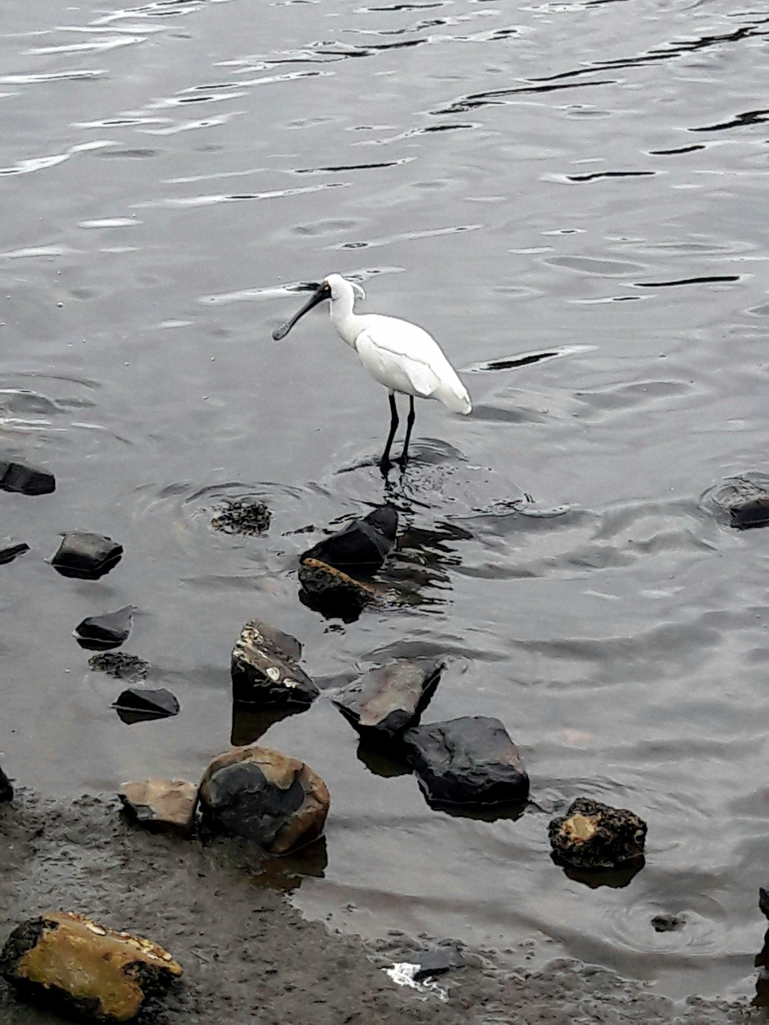 spoonbills otago harbour