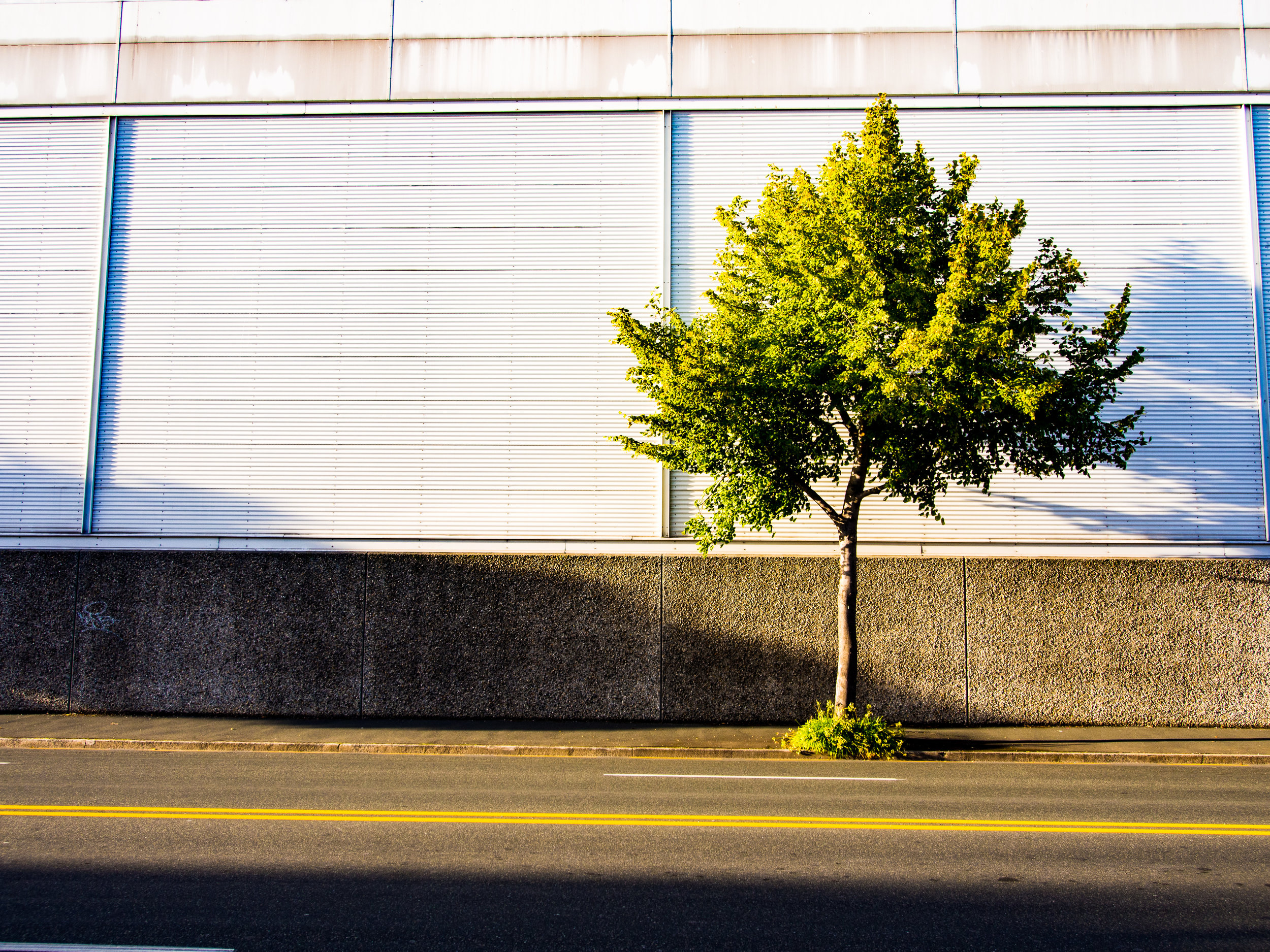 urban tree Dunedin